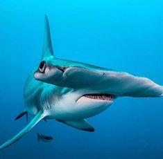 Hammerhead Shark photo by Alan C Egan Underwater Creatures, Underwater Life, Ocean Creatures, Shark In The Ocean, Save The Sharks, Shark Photos, Shark Pictures, Fauna Marina, Shark Art