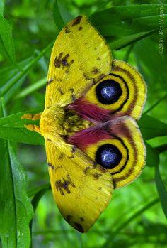Lo Moth (Automeris lo)