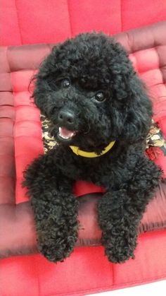 Black Poodle  on pink quilt more interested in the camera | OH MY GOSH!! SOOO CUTE!
