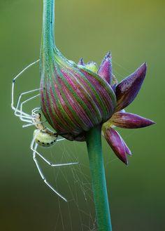 ~~Tangleweb Spider by johnhallmen~~