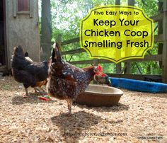 If you have to hold your nose to enter the chicken coop, you need to read these five tips to Keep your chicken coop smelling fresh.