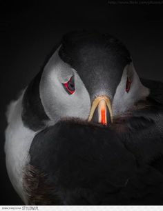i love you little puffin!!