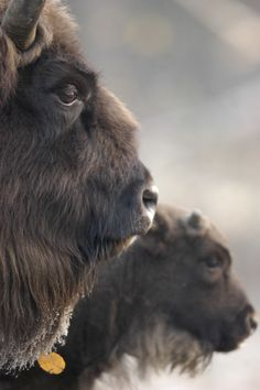 Wild Bison intrigue me. I loved watching them roam wild when I was in the Dakotas.