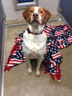 6 / 5 Petango.com – Meet CJ, a 3 years 5 months Brittany / Retriever, Labrador available for adoption in FORT DODGE, IA Address 725 S 32nd Street, FORT DODGE, IA, 50501 Phone (515) 955-8343 Website http://www.almosthomeiowa.org Email almosthomeiowainfo@gmail.com