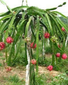 A blog about Dragon Fruits.