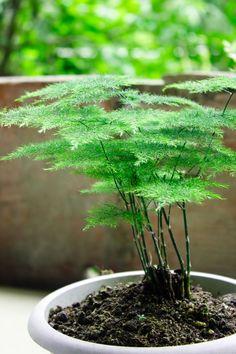 Asparagus Fern - All For Garden Asparagus Fern Care, Asparagus Plumosus, Indoor Ferns, Indoor Plants, Potted Ferns, Fern Care Indoor, Garden Care, House Plants Decor, Garden Plants