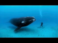 National Geographic: Diving with Whales