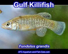 Gulf Killifish