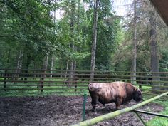 While in Poland on our road trip we couldn't miss Białowieża, primeval forest. We heard a lot about its nature and about bison! Eastern Europe, Poland, Road Trip, Nature, Naturaleza, Road Trips, Nature Illustration, Off Grid, Natural