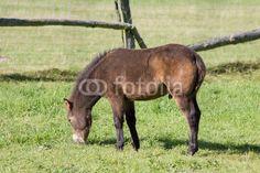 Exmoor-Pony-Fohlen