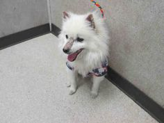 STERLING  Pet ID: A1386585  Sex: M Age: 10 Years Color: WHITE  Breed: AMER ESKIMO - MIX  Kennel: 131  OC (714) 935-6848 and identify your pet by the Pet Identification Number