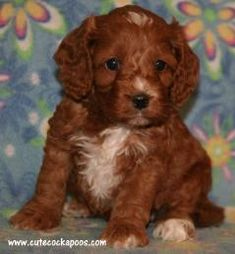 Red, Apricot, Merle, Sable, Parti, TriColored Cockapoo