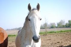 Sugar is an adoptable Saddlebred Horse in Ossian, IN. WE ARE NOW READY FOR OUR NEW HOMES. Sugar is a 15 yr old gray mare, loads like a dream, lunges, leads, ties and lifts her feet for the farrier. To...