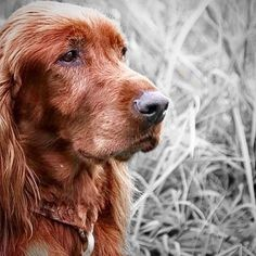 beautiful old red setter.  Amazing Instagram Animal and wildlife Photos.  At https://peoplefinder.io we help you integrate Instagram and Pinterest so you can find and save instagram content for direct to your Pinterest boards.