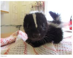 Cutest skunk in the world!