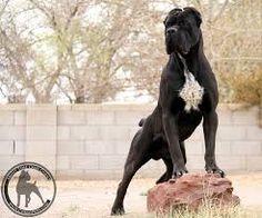 Resultado de imagen de cane corso