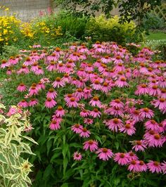 Purple Cone Flowers and Coreopsis are both drought-tolerant plants