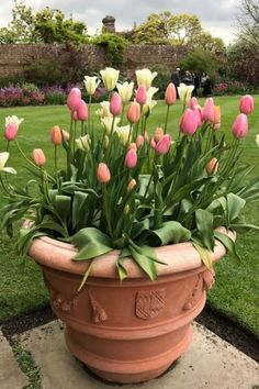 Plant tulips in terracotta pots not plastic ones #middlesizedgarden Terracotta Pots, Container Gardening, Tulips, Container Garden, Tulip, Clay Pots