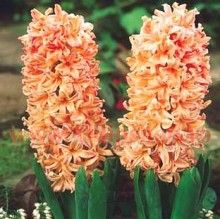 Hyacinth - Gypsy Queen (orange), not sure if these would grow in Texas, but they are pretty! Daffodils, Tulips, Peonies, Bulbs For Sale, Garden Bulbs, Spring Bulbs, Orange Flowers, Spring Flowers, Spring Garden