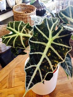 Alocasia Polly A very elegant perennial with large glossy leaves . Thrives a warm shady well sheltered location $25