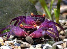 Geosesarma aristocratensis, Purple Vampire Crab - They need a mixture of aquarium and terrarium. They are *fascinating*