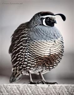 vmburkhardt:  (via Oil Paint Effect - California Valley Quail |...