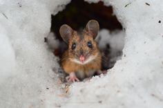 Photo - This gorgeous yellow-necked mouse was looking me in front of it's cave. Konsta Punkka sur 500px