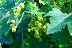 Lopotin Toimelan pihaunelmia Fruit, Garden, The Fruit, Lawn And Garden, Gardens, Outdoor, Home Landscaping, Tuin