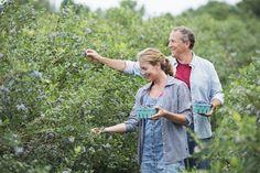 Couple picking organic blueberry fruits from bush