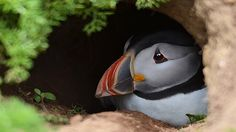 A puffin on Skomer Island, Pembrokeshire, Wales, UK