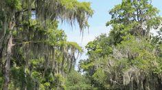 Bayou Swamp 3. Drifting through a swampy bayou in Louisiana near New Orleans. -