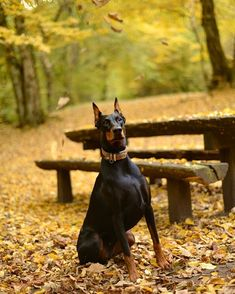 Despite barking aggressively, growling, and showing their pearly whites in a scary snarl, most dogs have a tendency to be natural conflict solvers. Animals And Pets, Cute Animals, Malinois Puppies, Dog Language, Aggressive Dog, Doberman Pinscher, Large Dogs, Mans Best Friend, Dog Owners
