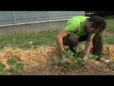 Coltivare le zucchine con successo