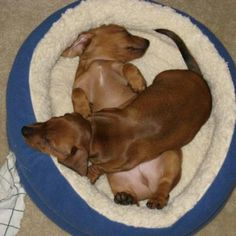 Dachshund's love to cuddle