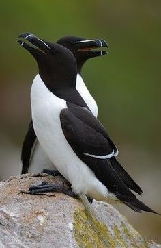 Razorbill (Alca torda) - islands, rocky shores and cliffs on northern Atlantic coasts, in eastern North America as far south as Maine, and in western Europe, from north-west Russia to northern France Pretty Birds, Love Birds, Beautiful Birds, Animals Beautiful, Exotic Birds, Colorful Birds, Animals And Pets, Cute Animals, Shorebirds