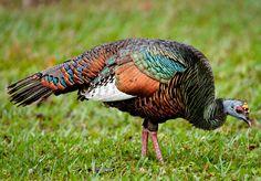 Ocellated-Turkey Owen-Deutsch U Best Turkey, Wild Turkey, Turkey Art, Endangered Bird Species, Saw Whet Owl, Caribbean Homes, Turkey Calling, Red Bill, Peafowl