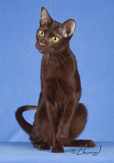 havana brown Laperm, American Wirehair, Ocicat, Selkirk Rex, Exotic Shorthair, Brown Cat, Havana Brown, Scottish Fold, Cat Boarding