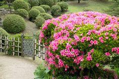 ツツジ、縮景園、広島 Azalea, Shukkei-en, Hiroshima