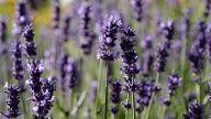 Es gibt über 30 verschiedene Lavendelarten. (Quelle: imago/Niehoff)