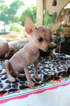 naked chihuahua mexican hairless chihuahua female 11 weeks for sale 2460