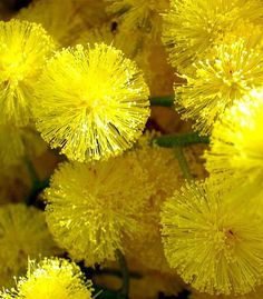 "Australian ""Acacia"" or commonly known as 'Wattle' is Australia's national flower emblem. It's large blooms resemble a firework display of cheery yellow."