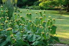 Phlomis Russeliana: Evergreen: Comb or rake off any old, tired or dead leaves and flowers in spring. If needed evergreens can be cut back by up to half from April to July . Perennial Grasses, Herbaceous Perennials, Ornamental Grasses, Seaside Garden, Coastal Gardens, Dry Garden, Gravel Garden, Tall Flowers, Yellow Flowers