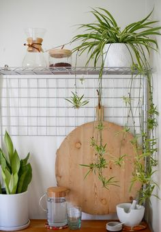 Plant-O-Pedia: spider plant - never doubt the awesome design power of a spider plant. one of the most popular house plants of all time, spider plants are Ficus, Hanging Planters, Planter Pots, Hanging Baskets, Popular House Plants, Chlorophytum, Calathea, Spider Plants, Bathroom Plants