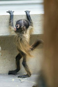 Baby spider monkey ... What a weirdly cute little thing. Looks like it's wearing a little feathery dress!