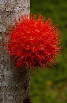Panama Flame Tree (Brownea macrophylla) flower | by Peter Oxford