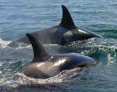 Transient Orcas. Photo by Mec Photography