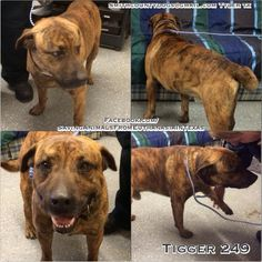 Saving Animals from Euthanasia in Texas Smith County Tyler, TX - TIGGER, Cause# 249 Male, Tiger Stripe Brindle Mix 3 years old, 66 lbs TAG by *Tuesday* FEBRUARY 10th by 5 PM! Pickup will be *Wednesday* FEBRUARY 11th at 10:30 AM. https://www.facebook.com/SavingAnimalsFromEuthanasiaInTexas/photos/a.1464929687057764.1073741865.1388603924690341/1567817770102288/?type=3&theater