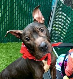 ONYX - A1126028 - - Manhattan  TO BE DESTROYED 09/27/17**ON PUBLIC LIST**A volunteer writes: Can you picture how cute Onyx would be if he was in your hands, safe, well cared for and loved? The prince and the pauper. I find him adorable despite his weight, his worn-out coat and because of his friendly temperament, even though he appears, at first, in a survival mode. He spots quickly food scraps on the ground, searches my bag for treats, marks his territory and does a lot of