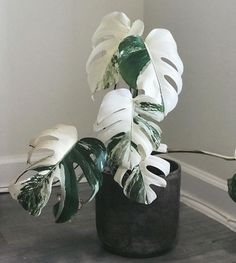 How to Care for a Monstera Deliciosa - That Planty Life - - Learn everything you need to know to care for the jungalicious houseplant, Monstera deliciosa. Easy to care for and fast-growing, it will not disappoint! Cool Plants, Potted Plants, Garden Plants, Indoor Plants, Succulent Plants, Indoor Gardening, Hanging Plants, Cactus Plants, Indoor Flowers