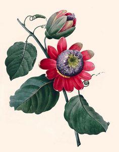 Winged-stem passion flower (Passiflora alata). Redouté, P.J., Choix des plus belles fleurs et des plus beaux fruits (1833)